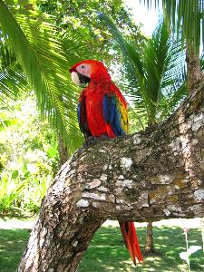kostarykańska papuga