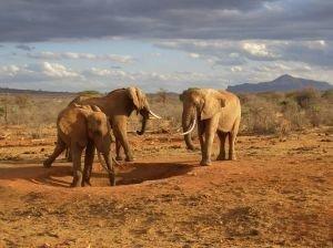 słonie na safari