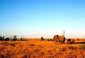 słonie na safarii